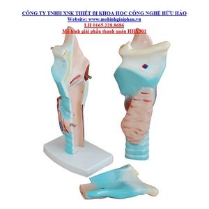 Mô hình giải phẫu thanh quản
