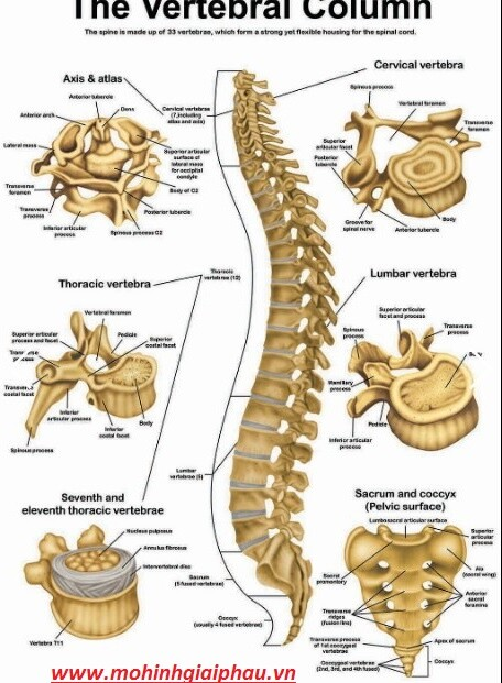 Tranh giải phẫu xương cột sống